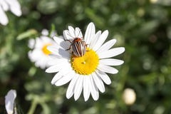 在雏菊的一只甲虫 成块 库存照片