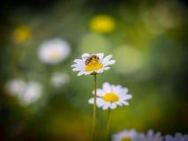 在雏菊的一只蜂 免版税图库摄影