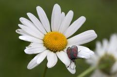 在雏菊的五颜六色的蝴蝶 库存照片