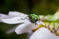 在雏菊的发光的臭虫 免版税库存照片