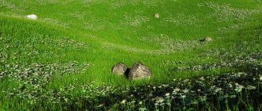 在雏菊的多小山领域的岩石 图库摄影
