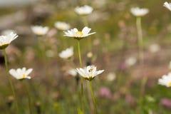 在雏菊的焦点 库存照片