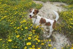 在雏菊的狗 库存图片