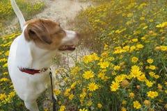 在雏菊的狗 库存照片