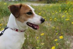 在雏菊的狗 图库摄影