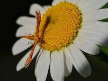 在雏菊的羽毛飞蛾 库存照片