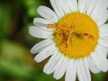在雏菊的羽毛飞蛾 免版税库存图片