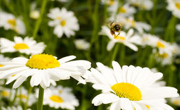 在雏菊的蜂收集的花蜜 库存图片