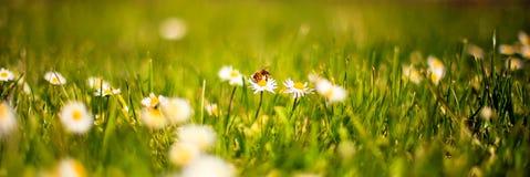 在雏菊的蜂 库存照片