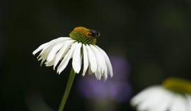 在雏菊的蜂 库存图片
