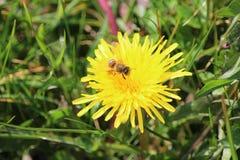 在雏菊的蜂 免版税库存照片