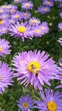在雏菊的蜂 免版税库存图片