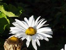 在雏菊的蜂 免版税图库摄影