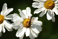 在雏菊的长角牛甲虫 免版税库存照片