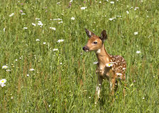 在雏菊的领域的白尾小鹿 免版税图库摄影