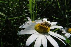 在雏菊的飞行 免版税库存照片