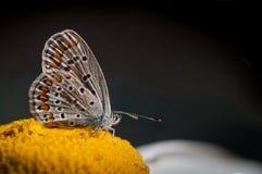 在雏菊的蝴蝶 免版税图库摄影
