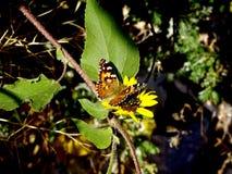 在雏菊的蝴蝶 免版税库存图片