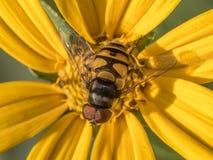 在雏菊的Hoverflies 图库摄影