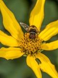 在雏菊的Hoverflies 免版税库存照片