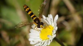 在雏菊的Hoverfly 库存图片