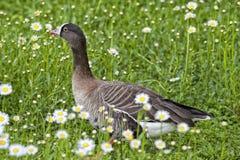 在雏菊背景的被隔绝的黑白鹅 免版税图库摄影