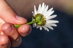 在雏菊花的一只昆虫 免版税库存图片