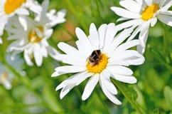 在雏菊花的土蜂 免版税库存图片