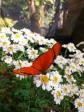 在雏菊花的惊人橙色蝴蝶 免版税库存照片