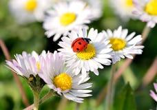 在雏菊花的瓢虫 免版税库存图片
