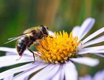 在雏菊花的蜂 库存图片