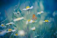 在雏菊花的金黄蝴蝶 免版税库存照片
