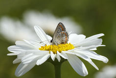 在雏菊花的蝴蝶 库存图片