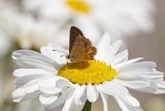 在雏菊花的蝴蝶 库存照片