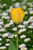 在雏菊花里面的郁金香 库存图片