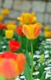 在雏菊花里面的郁金香 免版税库存照片