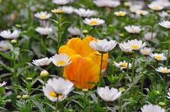 在雏菊花里面的郁金香 免版税库存图片