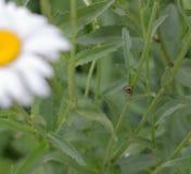 在雏菊词根的一只瓢虫 免版税图库摄影