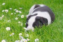 在雏菊领域的逗人喜爱的小狗 免版税图库摄影