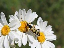 在雏菊-特写镜头的甲虫 库存图片