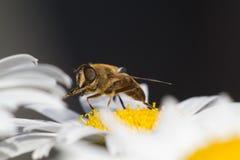 在雏菊3的蜂蜜蜂 图库摄影