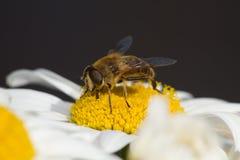 在雏菊4的蜂蜜蜂 图库摄影