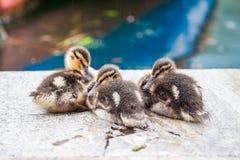 在雨下的三只小野鸭鸭子 免版税图库摄影