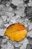 在雨下的唯一五颜六色的秋叶。 图库摄影