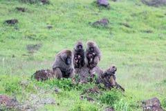 在雨下的狒狒家庭 库存图片