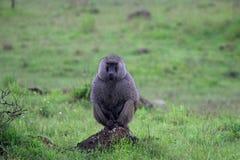 在雨下的狒狒猴子 库存照片