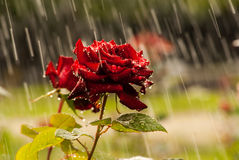 在雨下的红色玫瑰 免版税库存图片