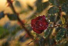 在雨下的花 免版税库存照片