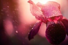 在雨下的虹膜花 图库摄影