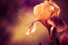 在雨下的虹膜花 免版税库存照片